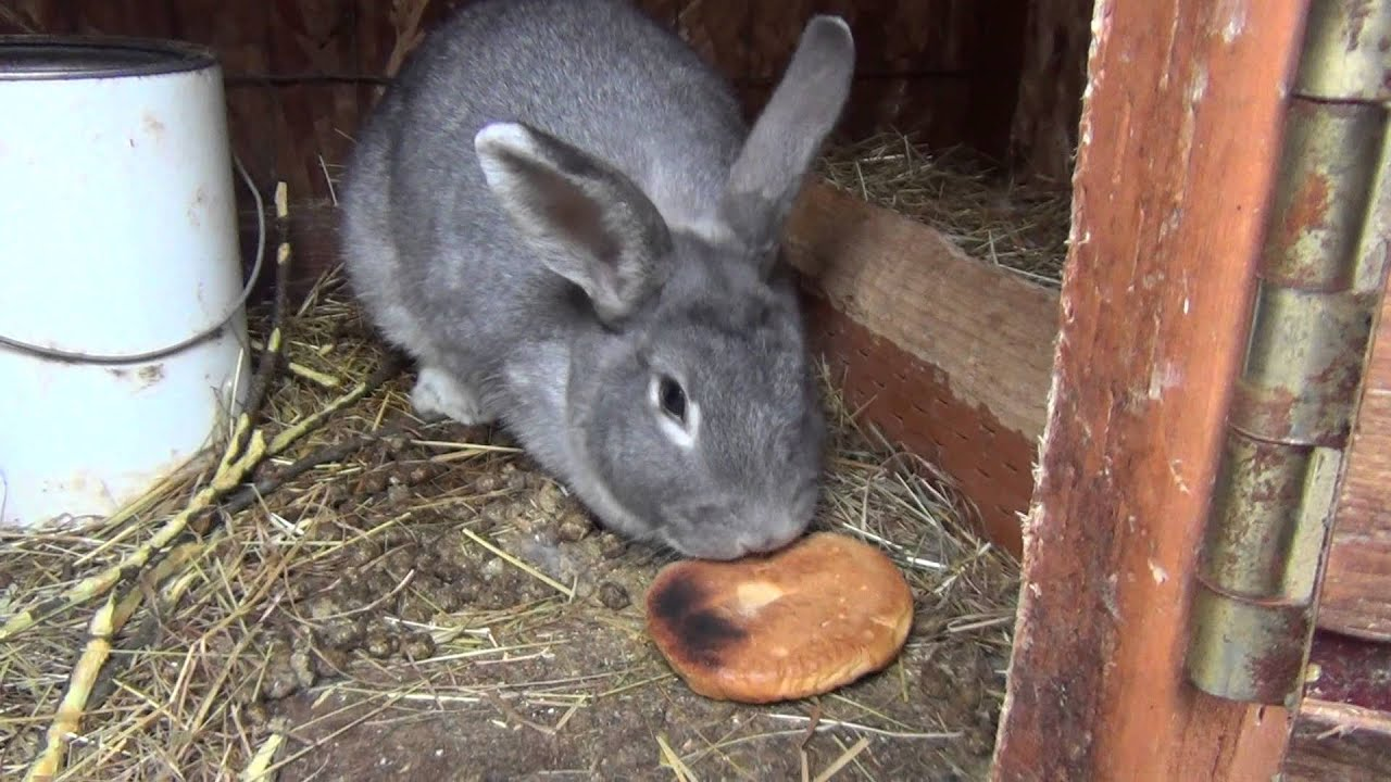 Можно ли кроликам давать хлеб или сухари