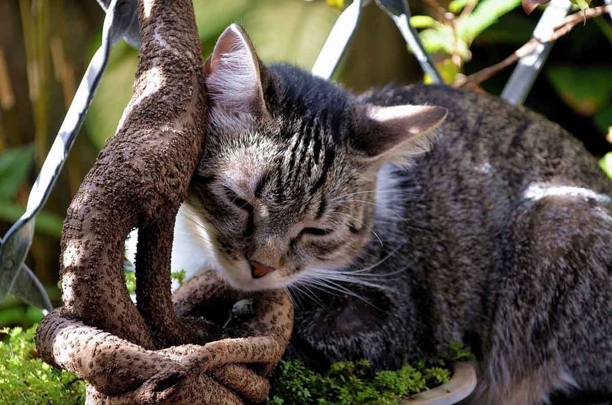 Бразильская короткошерстная кошка (Бразильский короткошерстный кот)