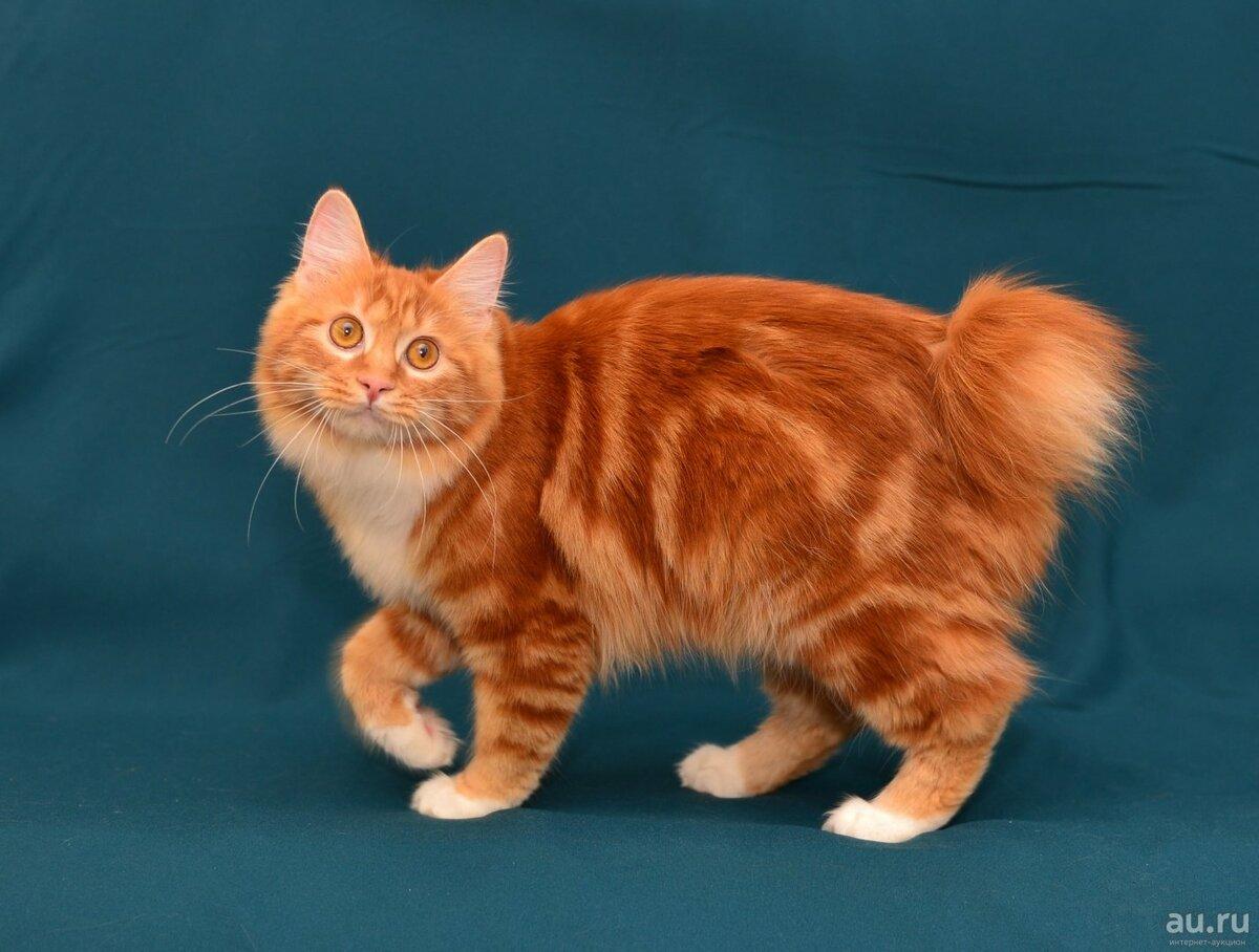 Карельский бобтейл (карело-финская кошка)