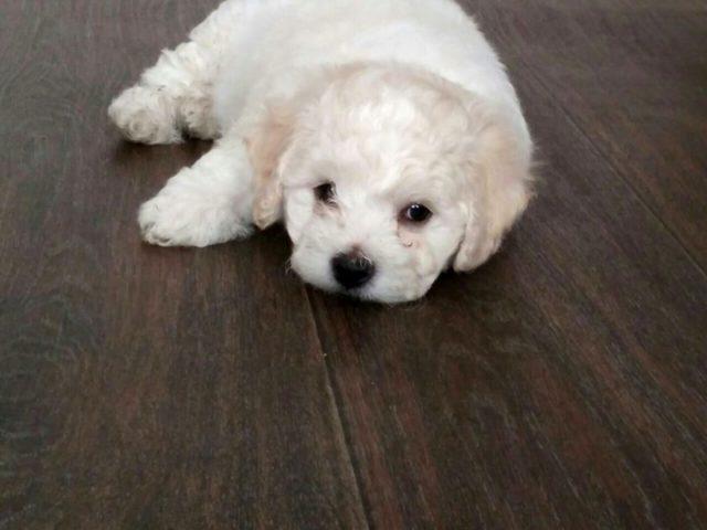 Бишон фризе: описание породы собак, характер