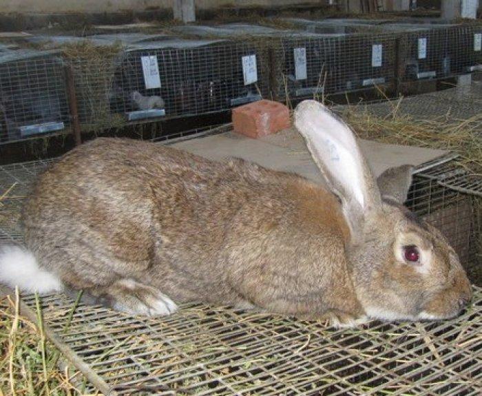 Кролики мясных пород: какие разводить в домашних условиях
