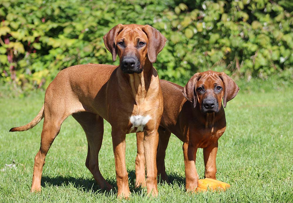 Родезийский риджбек: описание породы собак