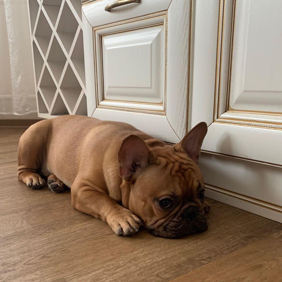 Сколько французские бульдоги живут в домашних условиях