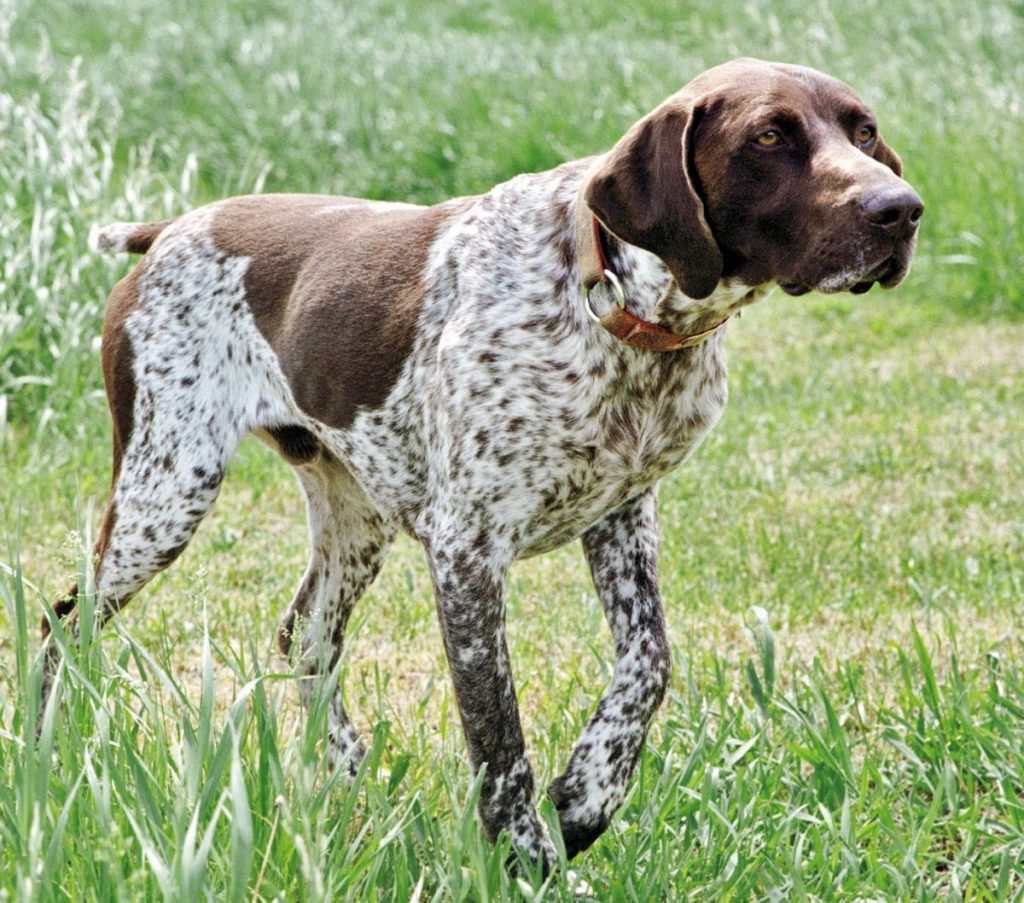 Легавая собака: русские, английские и немецкие породы