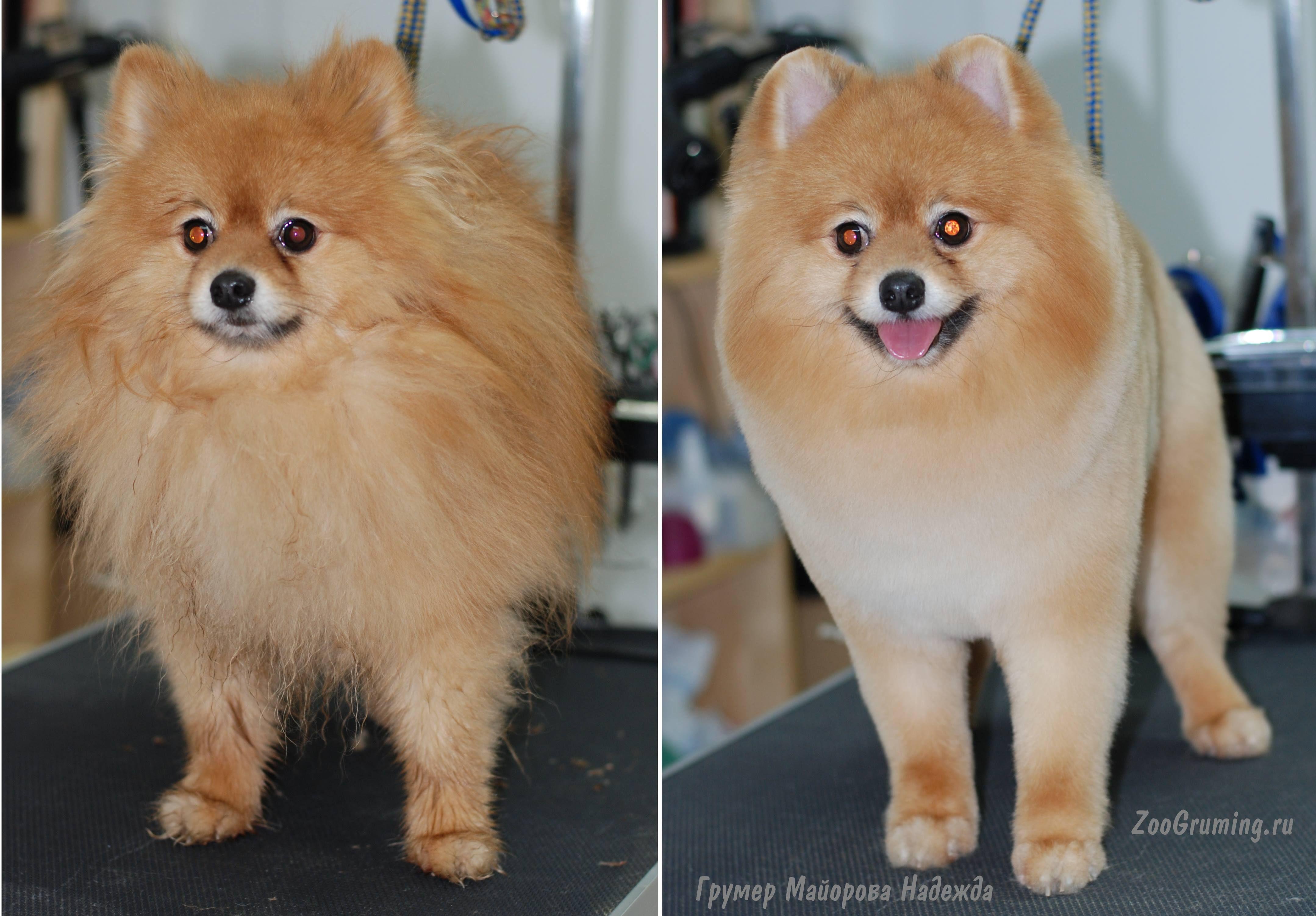 Порода собак шпиц: какие бывают виды и чем отличаются