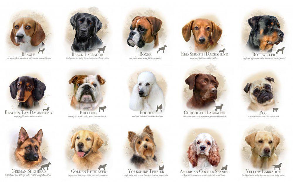 Порода собак для начинающих собаководов: какую лучше завести