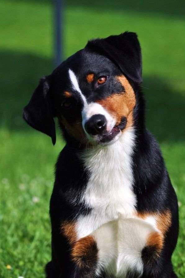 Аппенцеллер зенненхунд: описание швейцарской пастушьей собаки