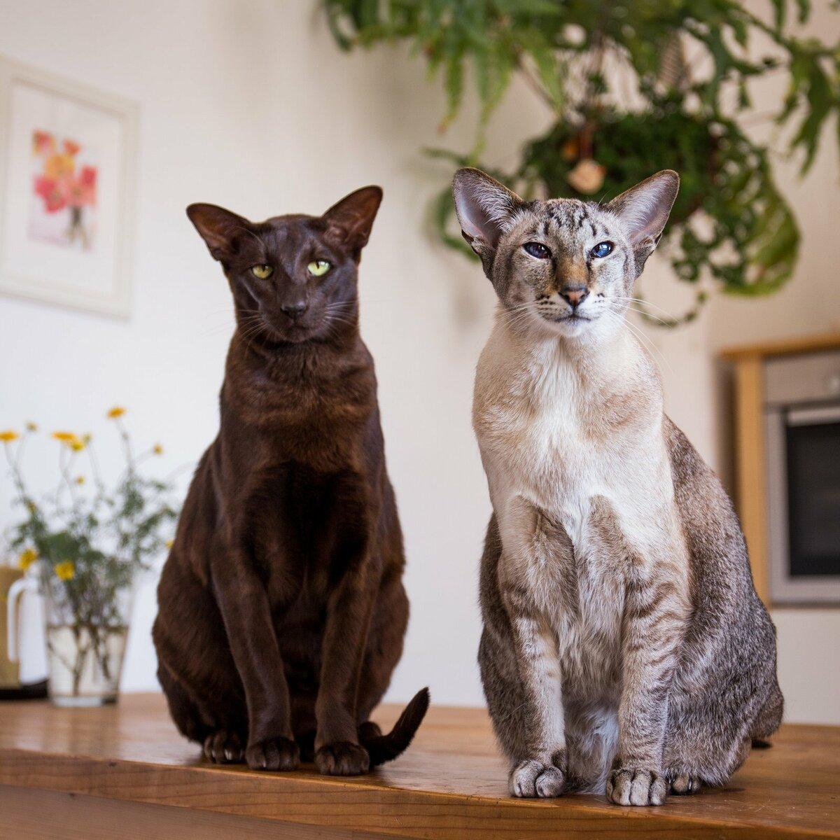 7 пород кошек, которые отличаются своей «болтливостью»