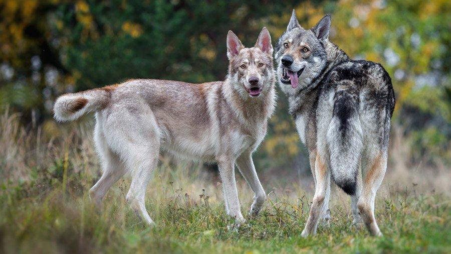 Волкособ: друг или враг?