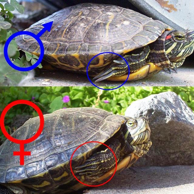 Сколько живут красноухие черепахи в домашних условиях