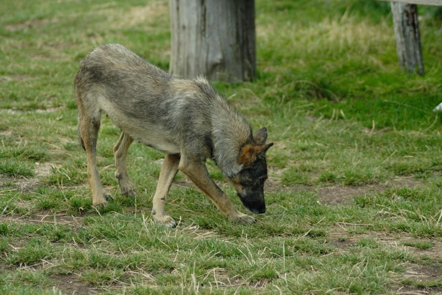 Итальянский волк (Лупо итальяно, итальянская волчья собака)