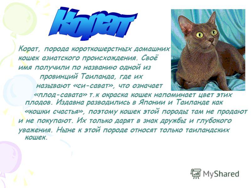 Корат кошка — описание котов и котят этой породы