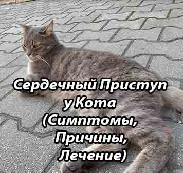 Сердечная недостаточность у кошек и котов