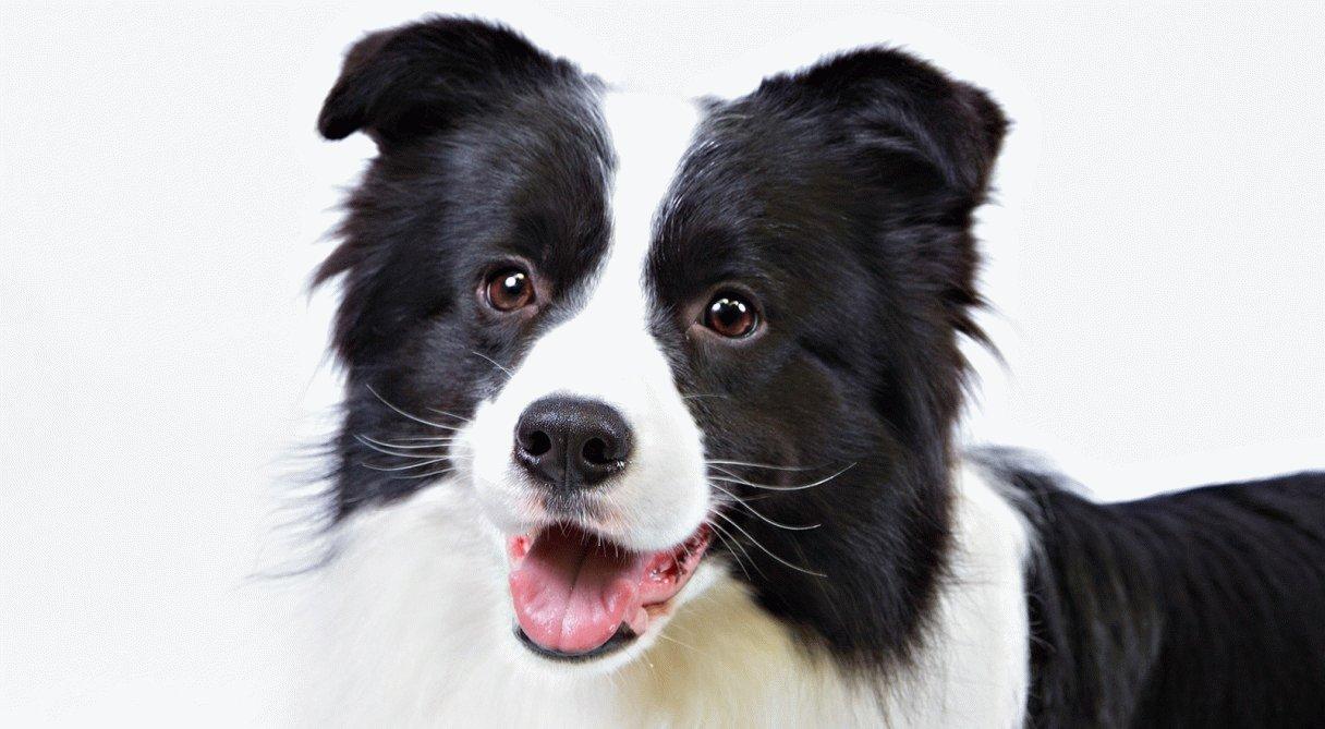 Самые умные породы собак в мире: ТОП-10 по интеллекту
