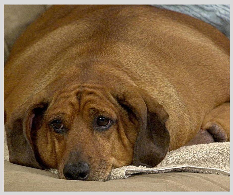 Породы собак, которые склонны к ожирению