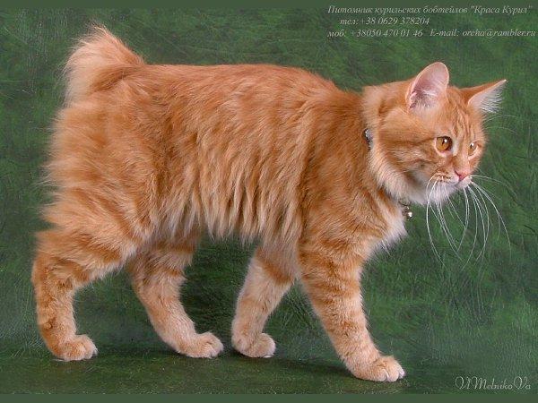 Курильский бобтейл: кошки и коты
