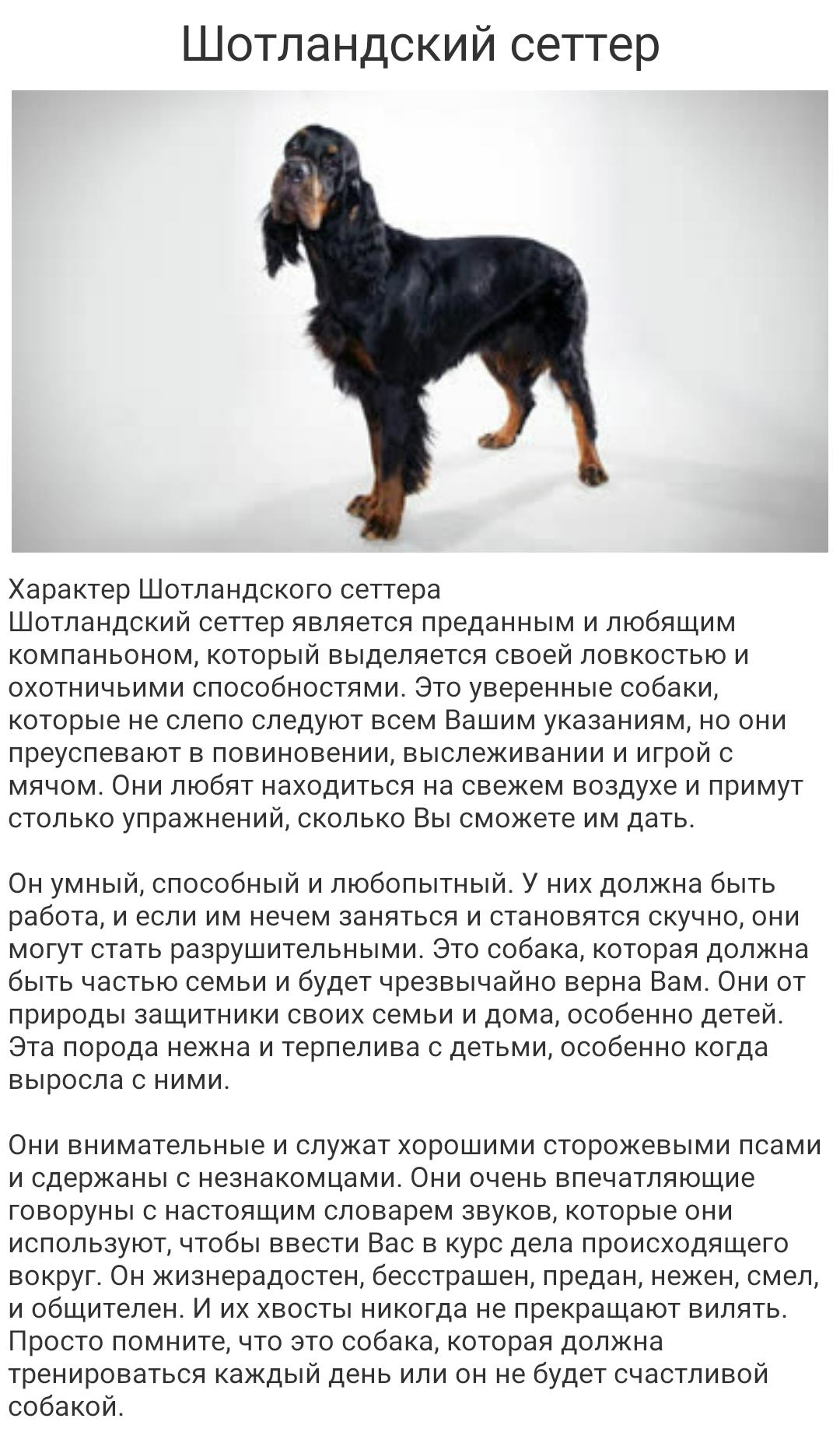 Английский сеттер: описание породы собак