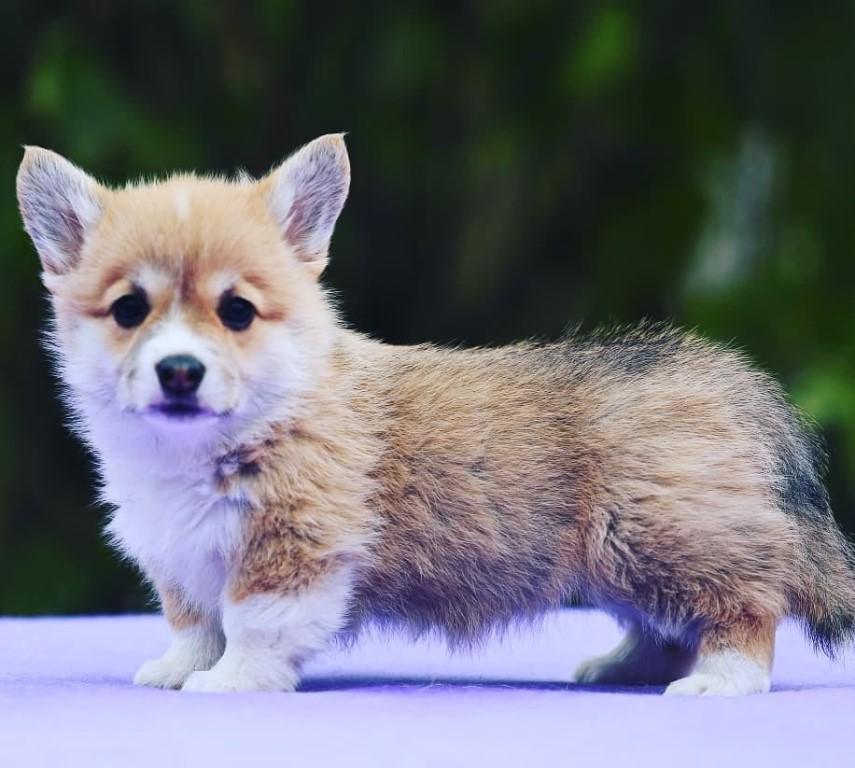 Вельш-корги пемброк — история собак