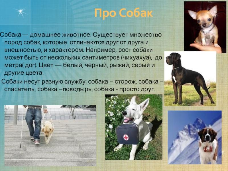 Московский дракон (порода собак): описание