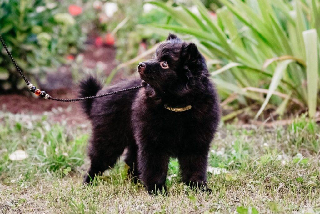Шипперке (собака): описание породы, характер