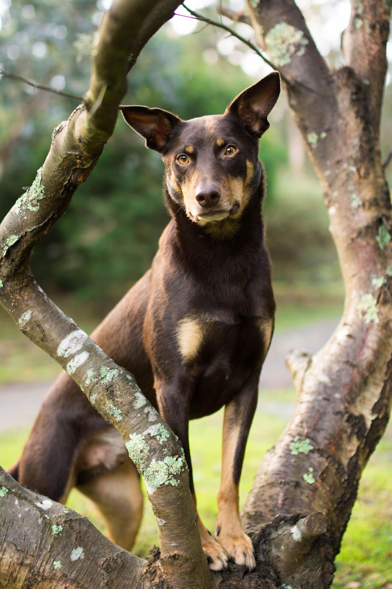 Австралийский келпи (порода собак): описание