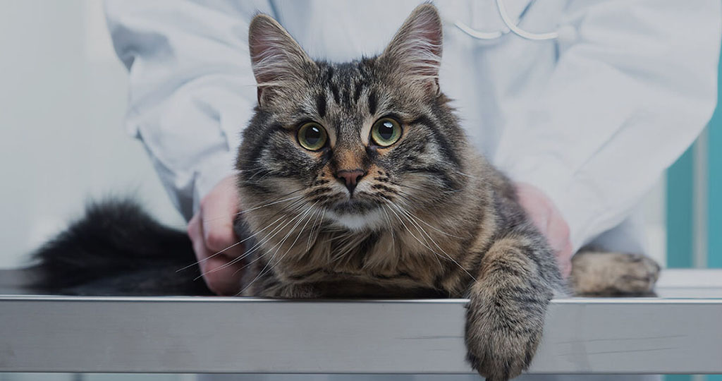 Инсульты у кошек и котят: как лечить патологию