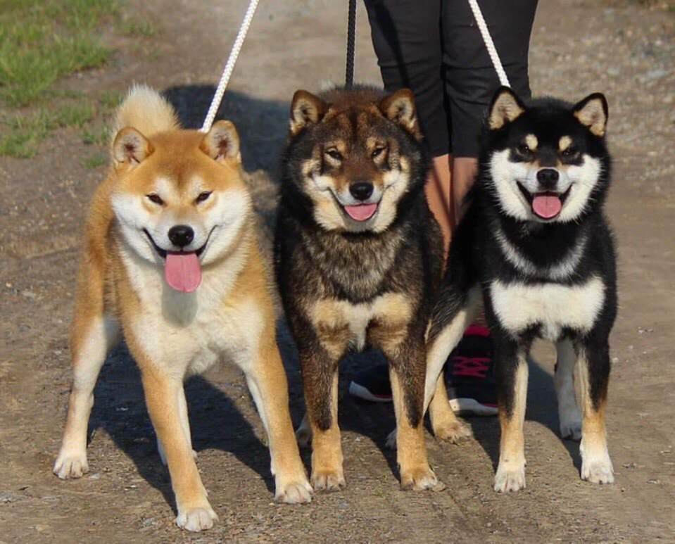 Сиба-ину: японская порода собак, описание