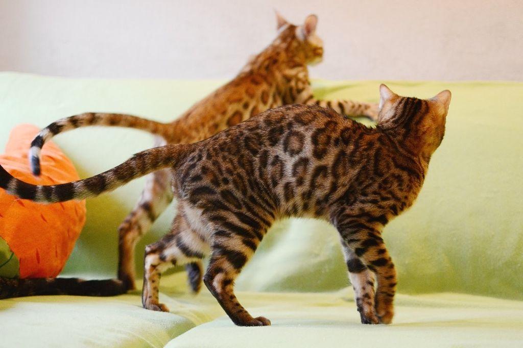 Бенгальская кошка — характер котов, котята