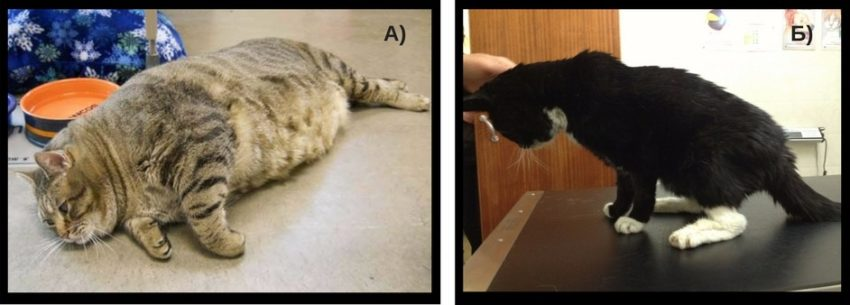 Сахарный диабет у кошек и как с ним бороться