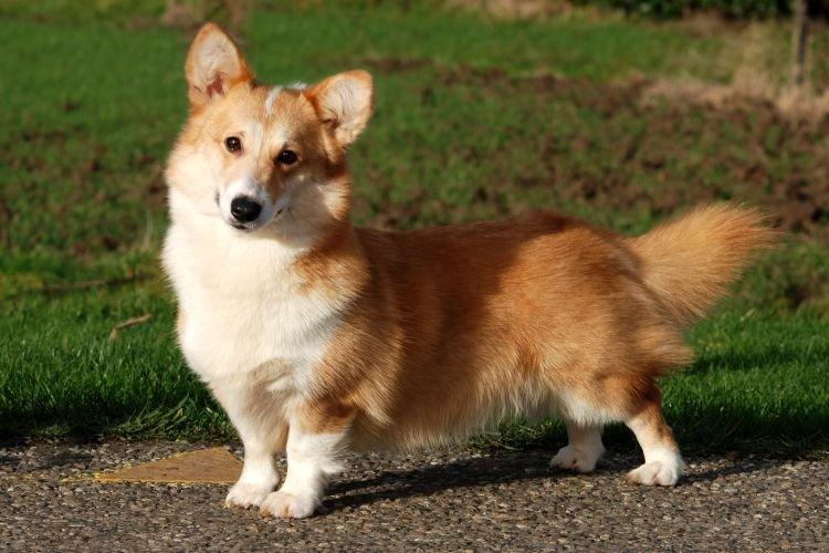Собака похожая на лису с короткими лапами: порода