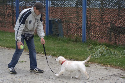 Как приучить щенка к поводку и ошейнику