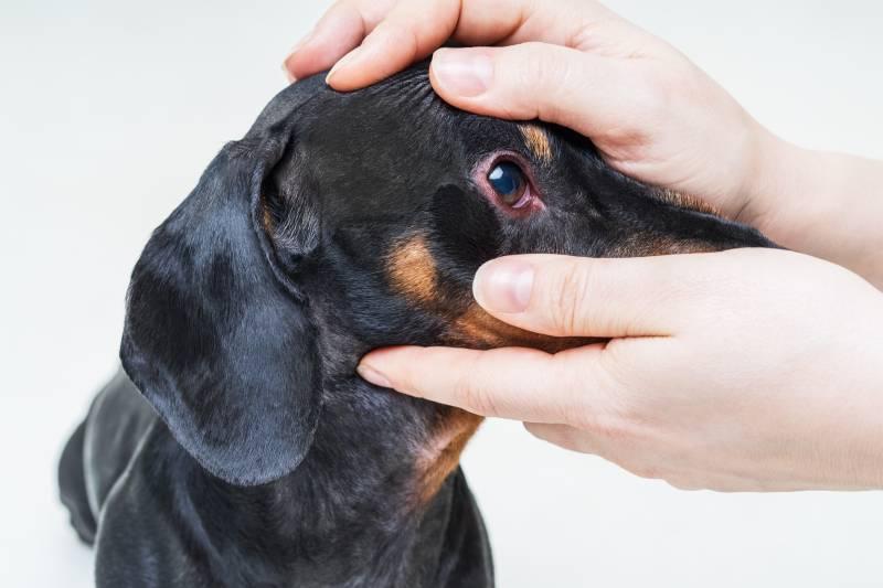 Горячий нос у собаки: причины и что делать