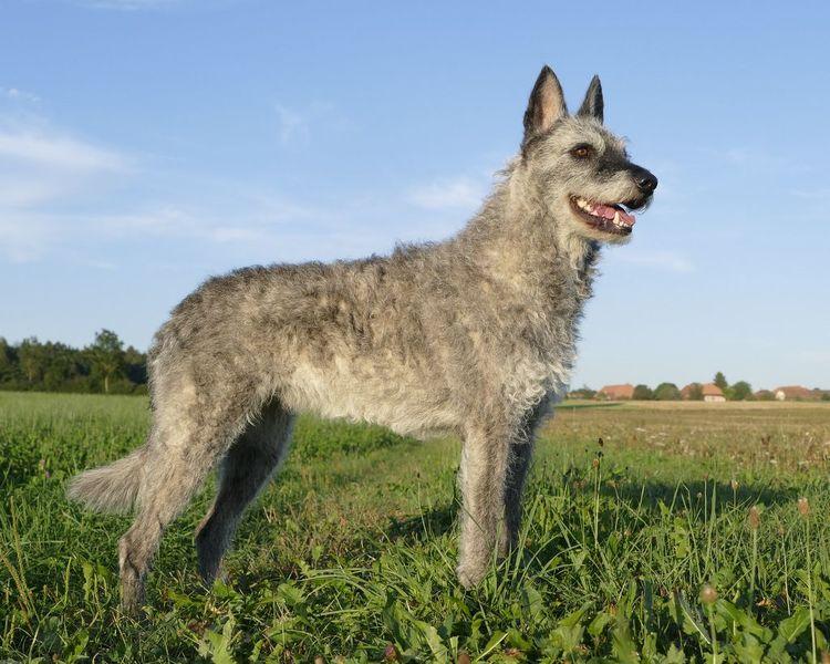 Голландская овчарка (Хердер)
