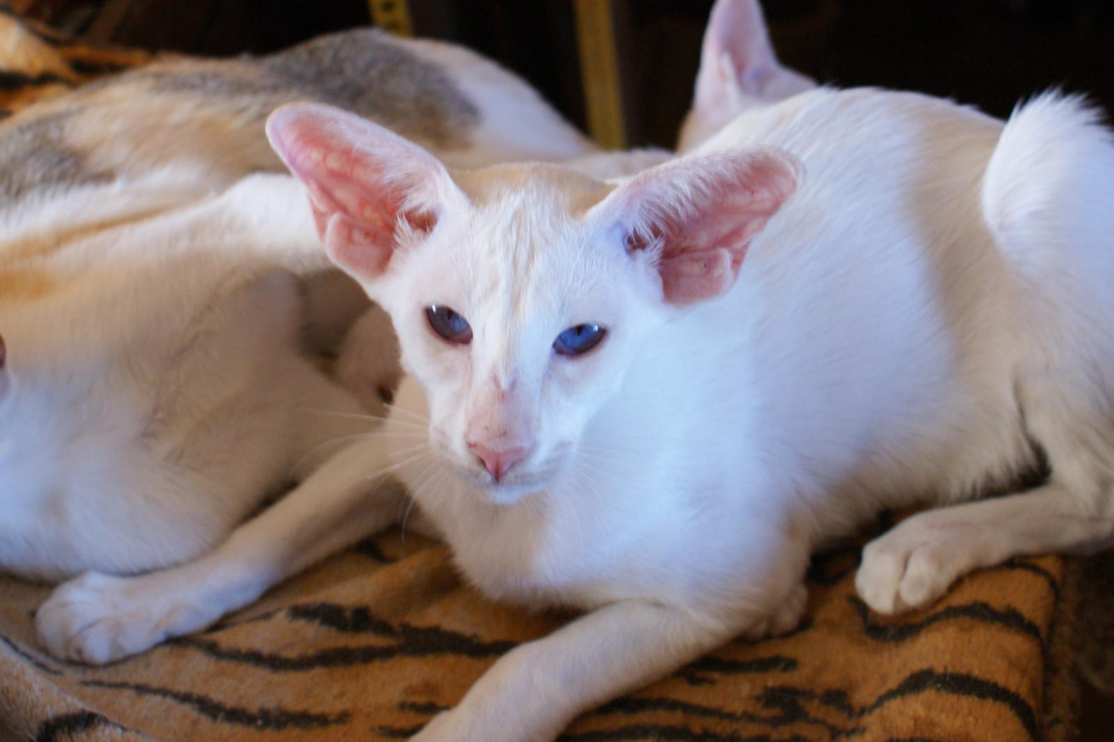 Сейшельская кошка