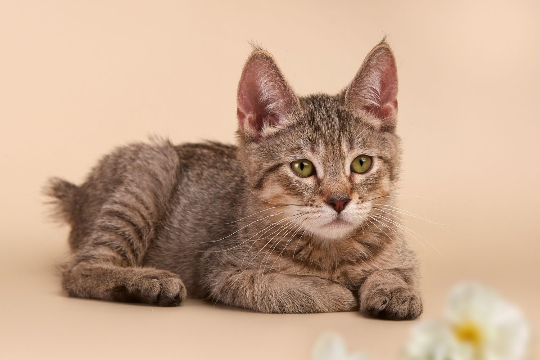 Пиксибоб (кошка)