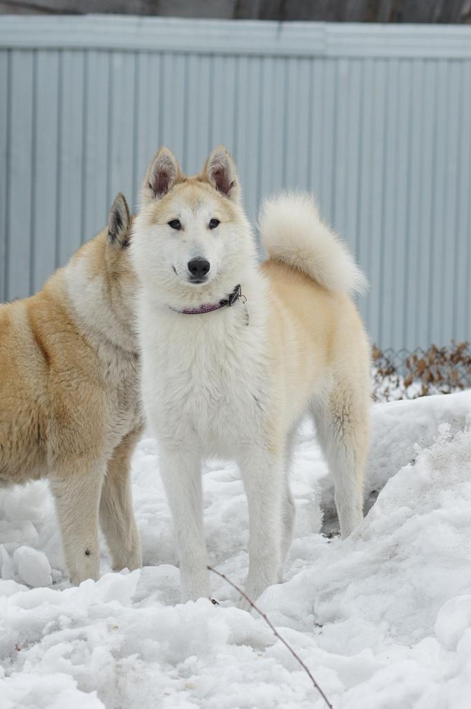 Западно-сибирская лайка— универсальный охотник с внешностью волка