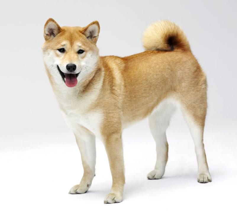 Лайка (собака)