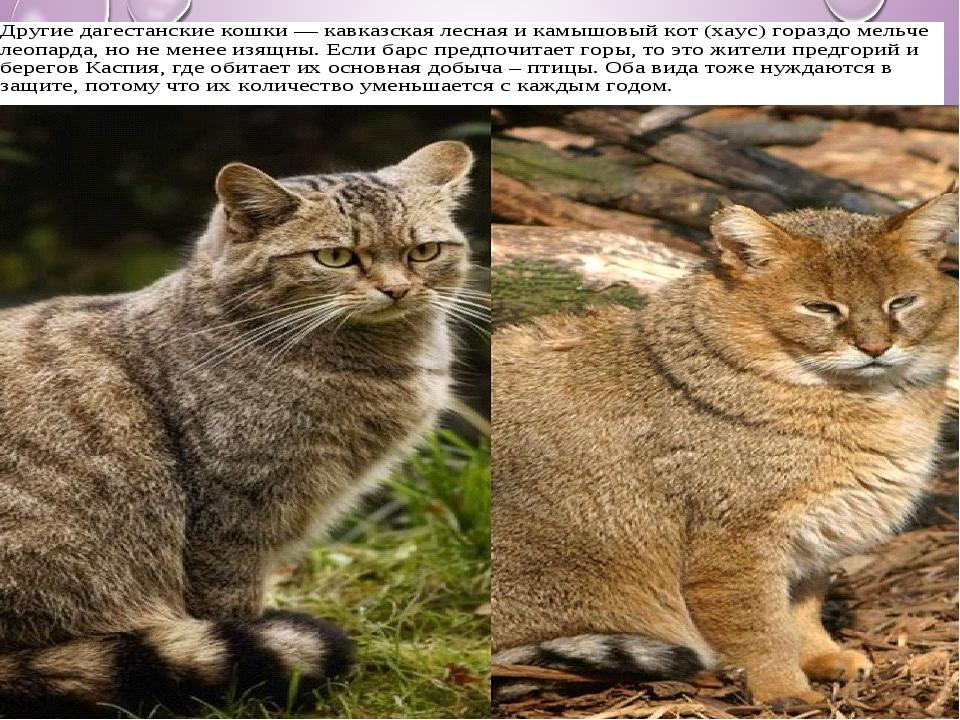 Камышовый кот — яркая личность всех оттенков серого