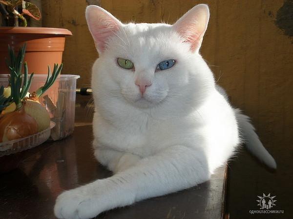 Почему белые и голубоглазые кошки глухие от рождения?