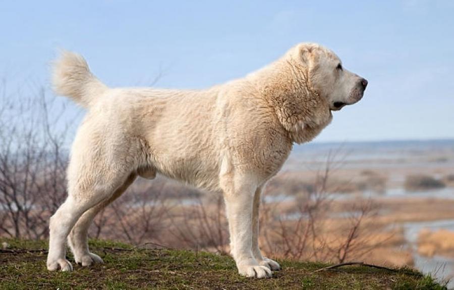 Волкодав (собака): как выглядит порода, виды