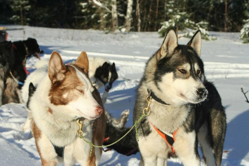 Рождены, чтобы бежать: породы северных ездовых собак