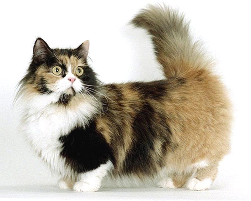 Манчкин: кошки и коты