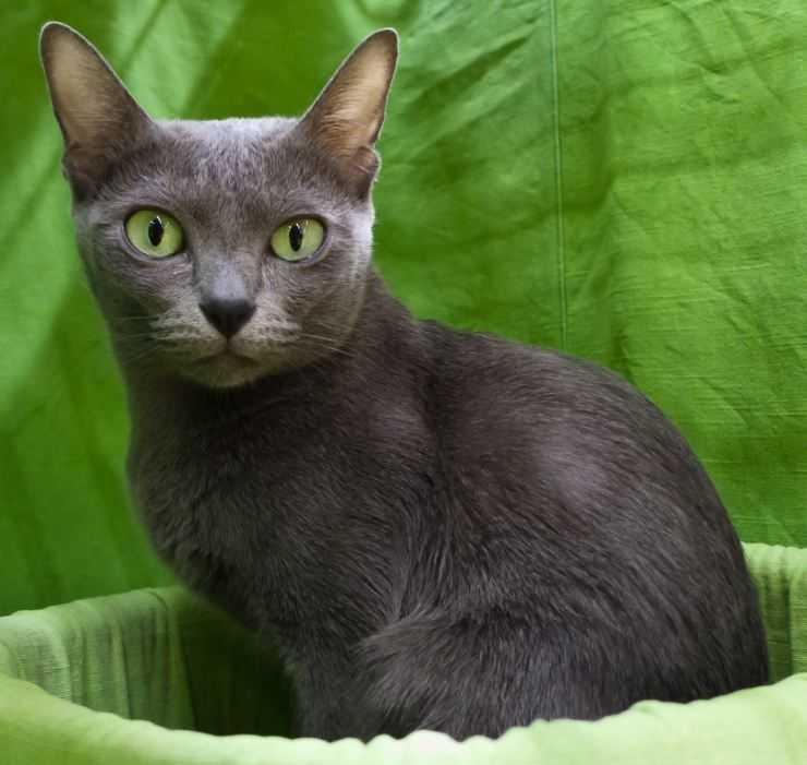 Особенности внешности, характера и содержания кошек породы корат