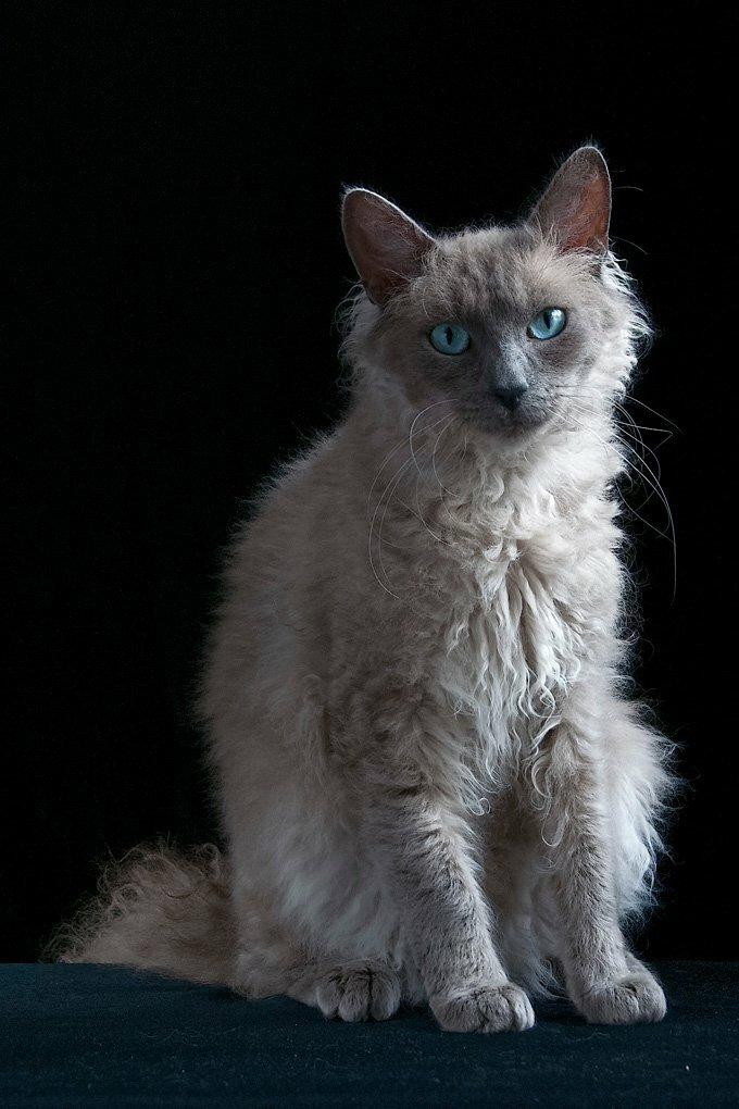 Лаперм: кошки и коты