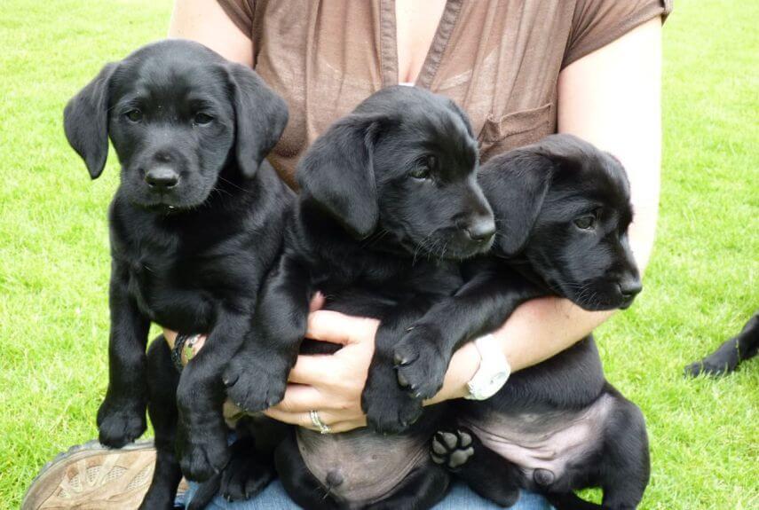 Черный лабрадор: как выглядит щенок, описание подвида