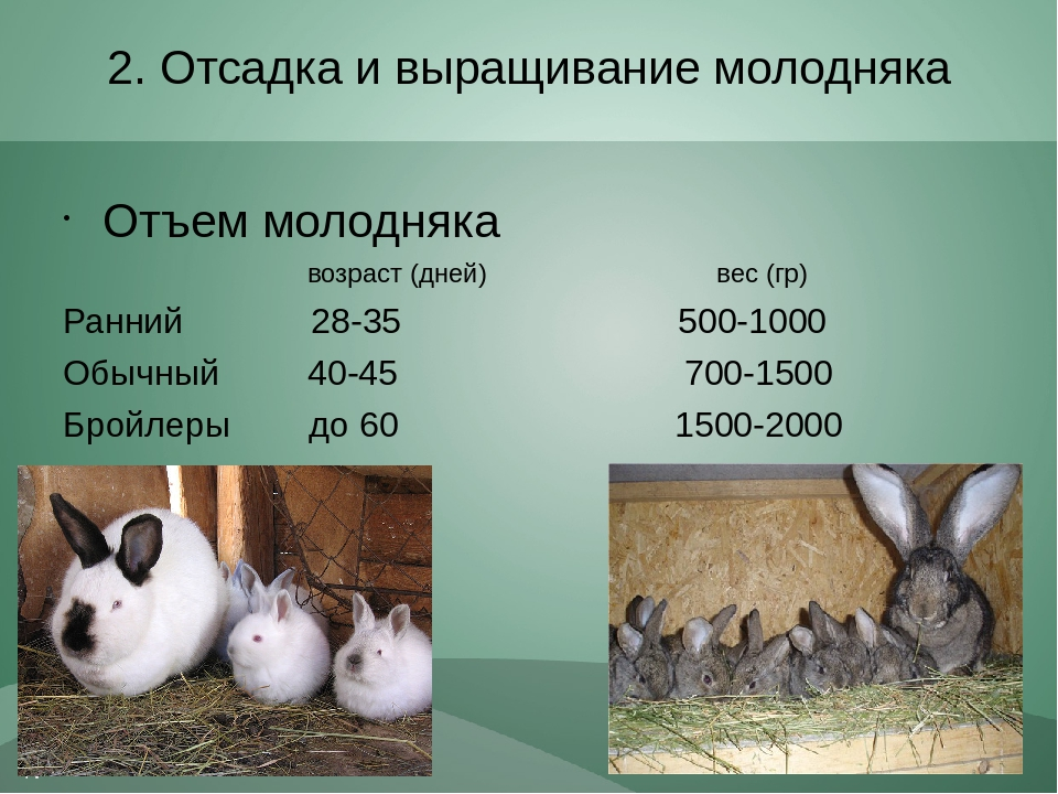 Сколько раз крольчиха кормит крольчат в сутки