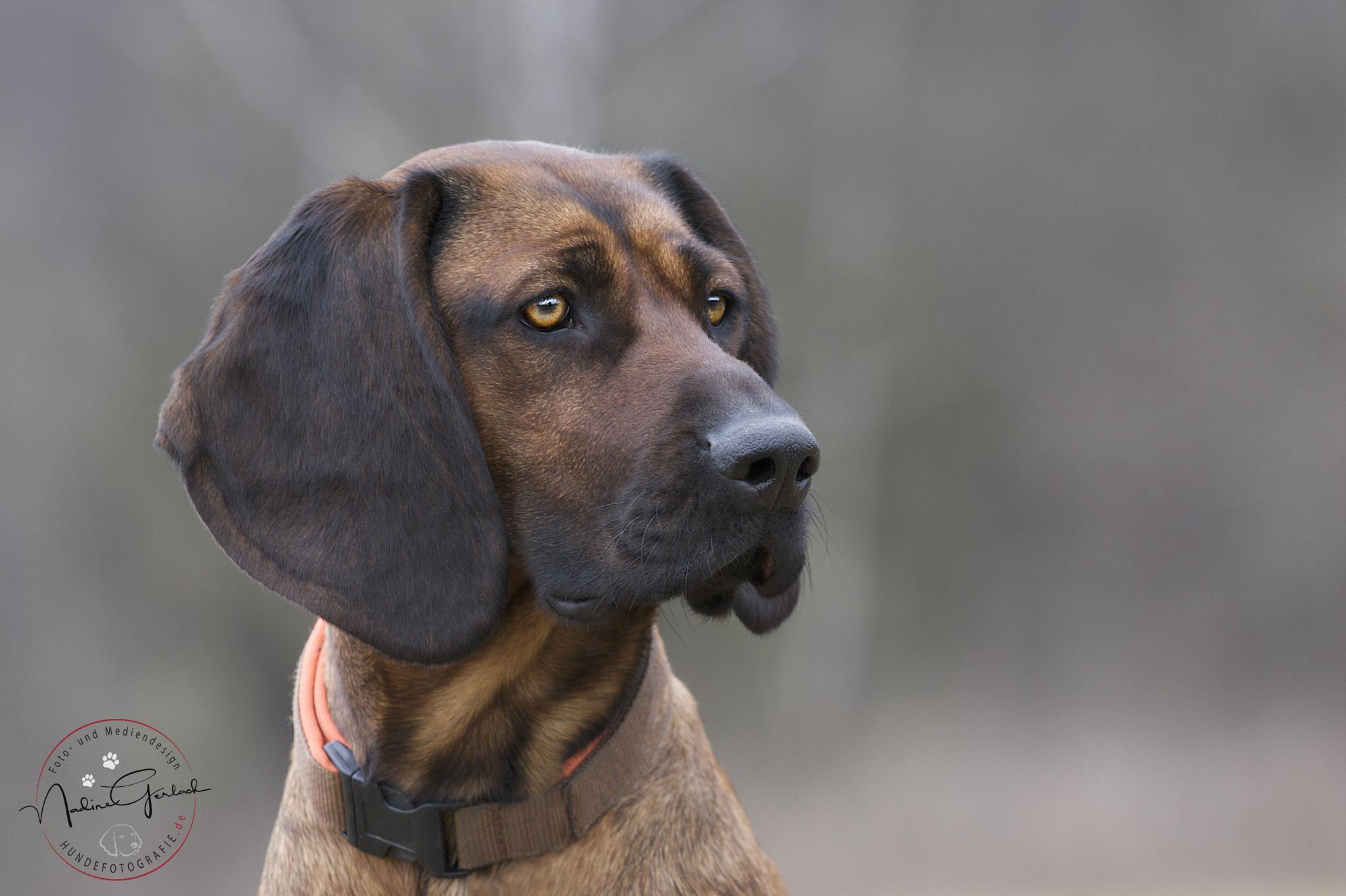 Баварская горная гончая — охотничья порода собак немецкого выведения