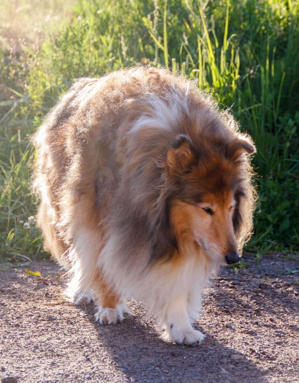 Мини колли: маленькая карликовая овчарка шелти