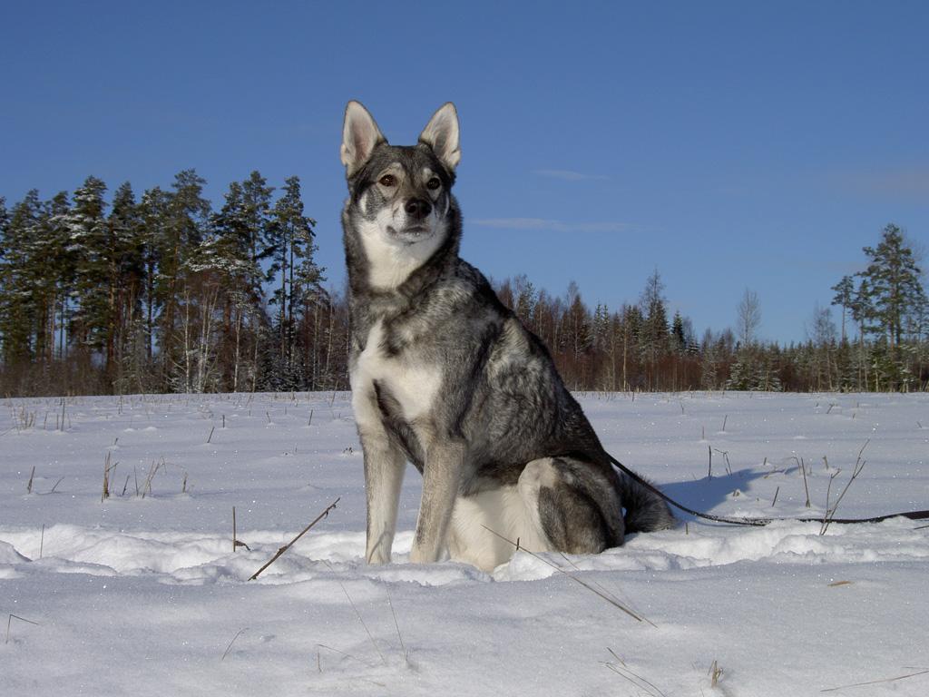 Норвежский элкхаунд (скандинавская лосиная лайка)