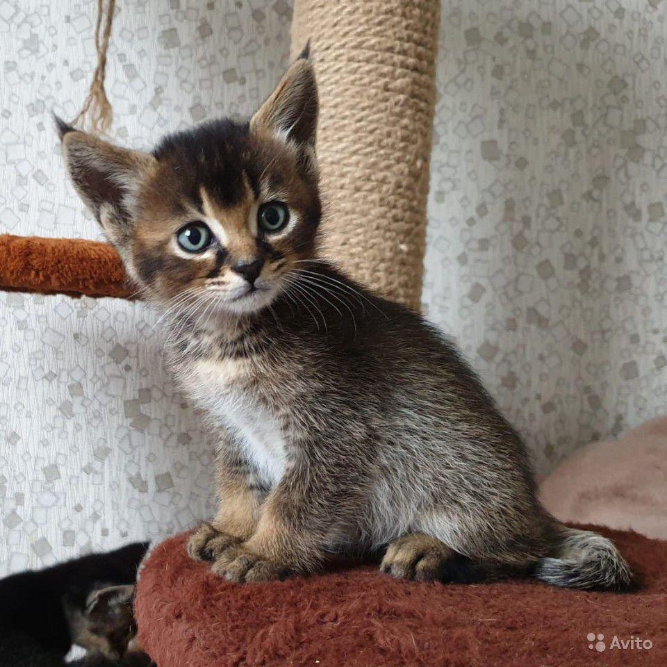 Каракет (кошка): сколько стоит порода